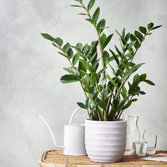 pianta tropicale di zamioculcas
