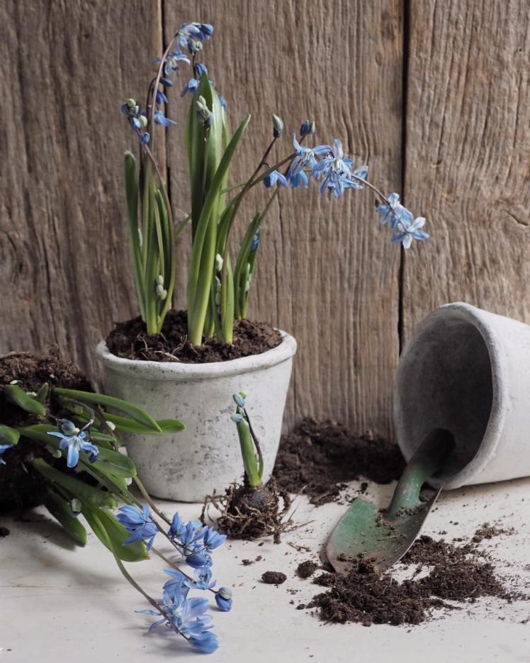 about-garden-balizroom-fiori-giardino-primavera-scilla-vaso